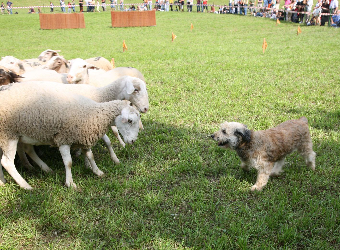 Concurs Gossos Atura Pallars. Ajt Llavorsi