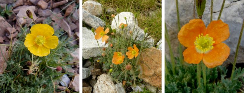 Paramà Alpí flors